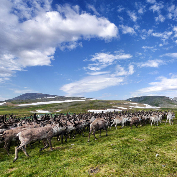 Yamal Migration