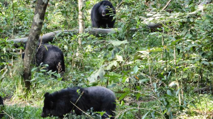 Bears Cat Tien