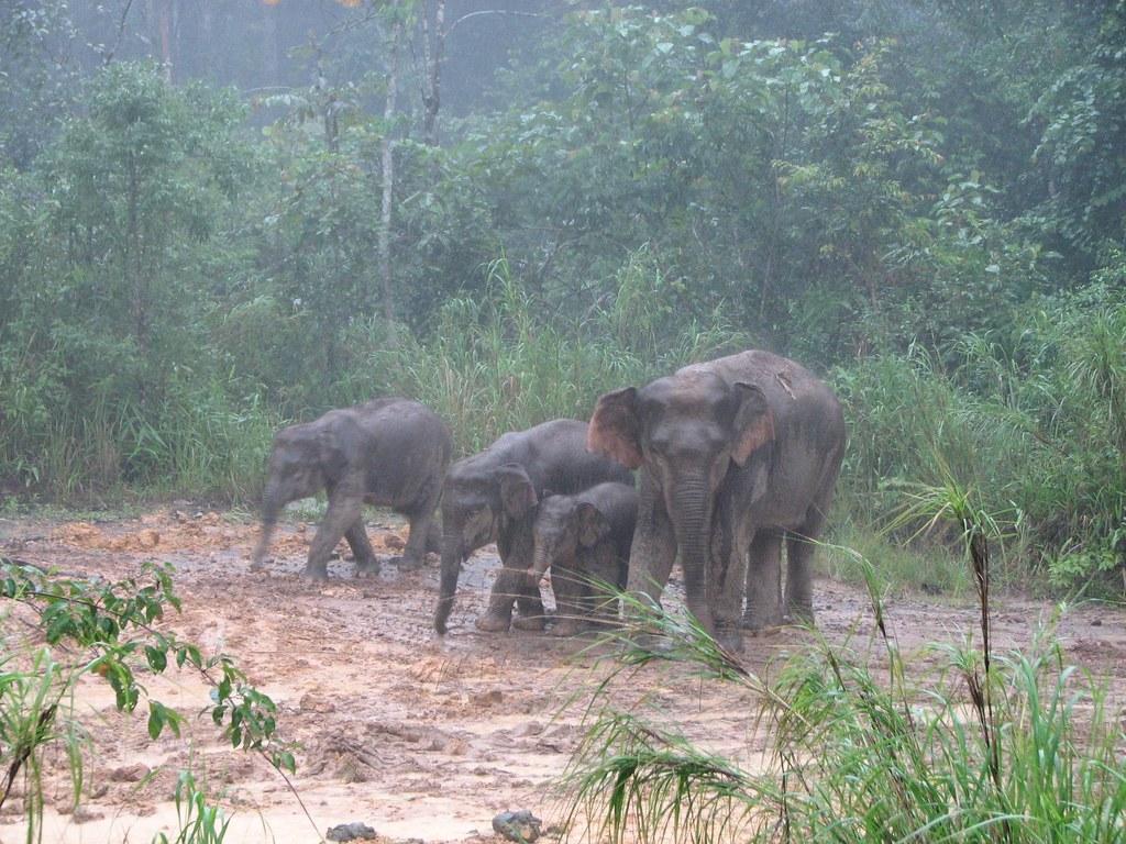 Asian wild elephants