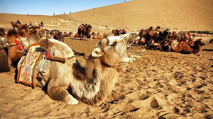 Furry camels