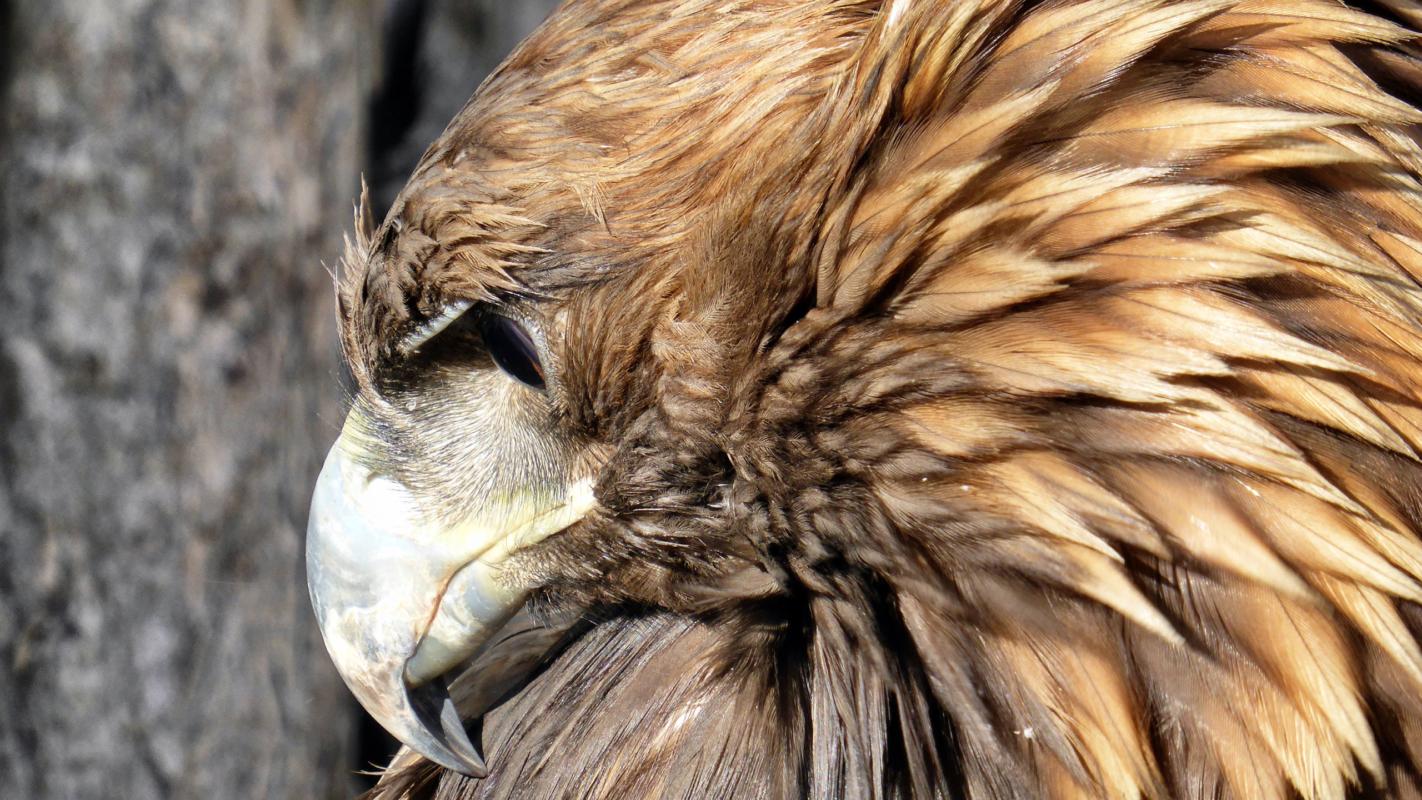 Golden eagle at Festival