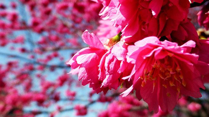 Cherry 3