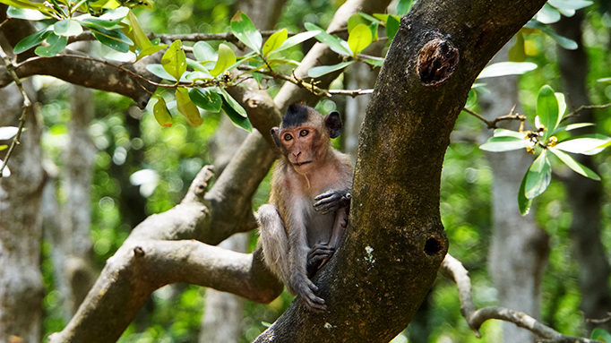 Long Tailed Macaque 1